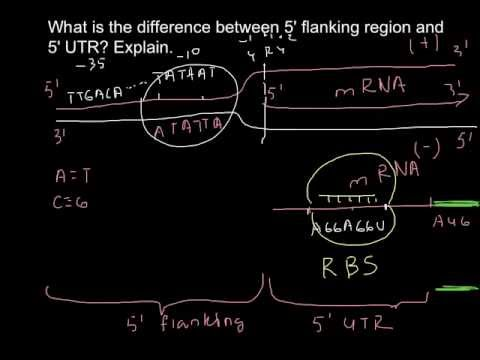 How 5' Flanking region and 5' UTR are different?