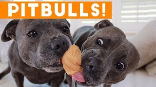 Ultimate Pitbull Compilation 2017   Cutest Funny Pitbull Videos Ever