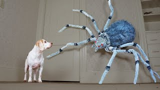 Download Dogs vs Giant Spider Prank: Funny Dogs Maymo, Penny, & Potpie Video