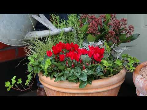 How to plant a Christmas container