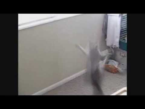 Crazy Cat climbs wall like a spider