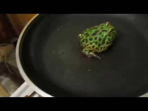 how to cook a pacman frog Tyndall stile