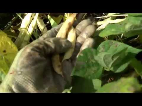 Harvesting Dried Bush beans