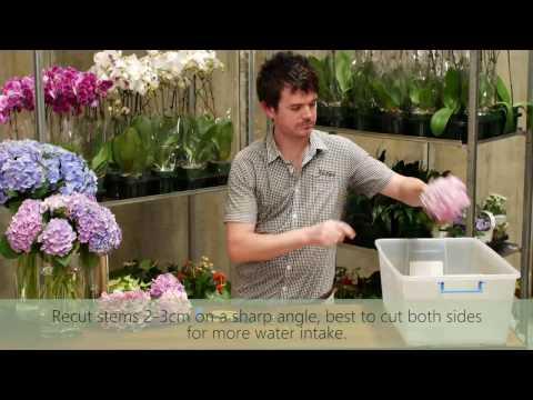 Hydrangeas Wilting in Vase - How to Keep Cut Hydrangea Fresh