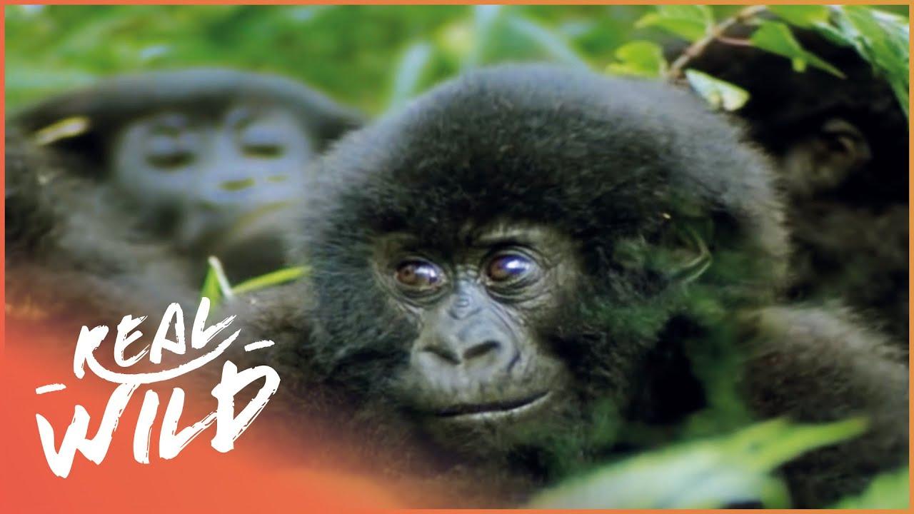 The Impact Of Man Vs Gorillas (Wildlife Documentary)   Real Wild