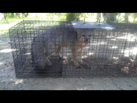 Live Trapping - Fox #2