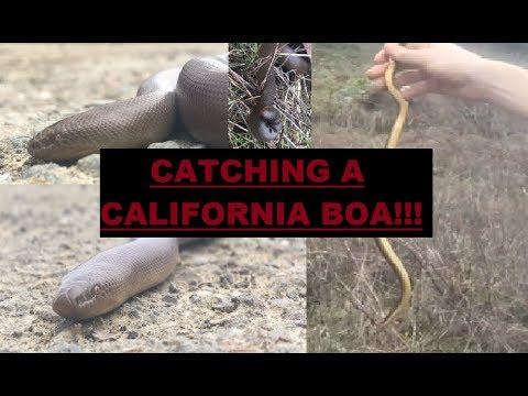 Rare California Rubber Boa Caught + Giant Pacific Salamander