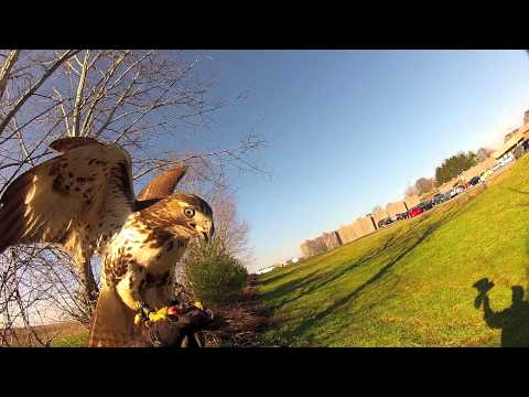 Falconry Red Tail Hawk