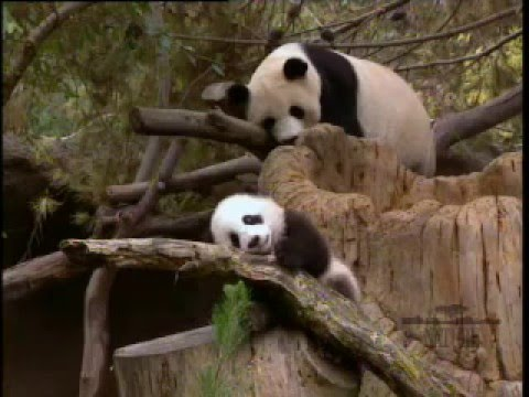 Comparing Two Texts: Day 1 Panda Video