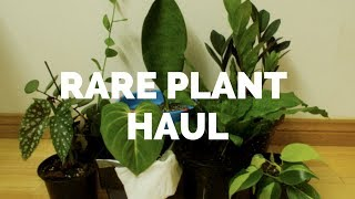 Rare Plant Haul (Whale fin sansevieria, begonia maculata, philodendron gloriosum + more!)