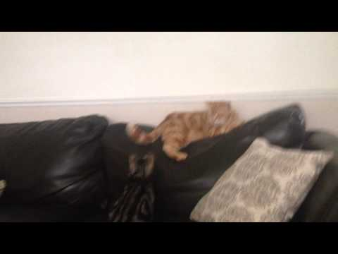 big fat grumpy ginger cat