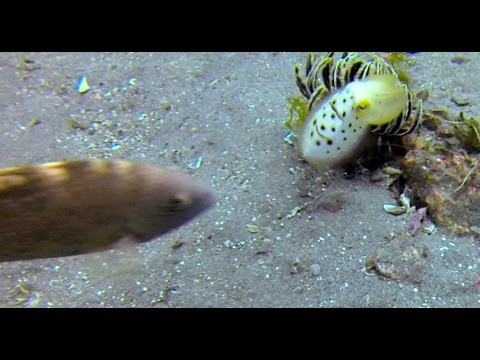 Cuttlefish reacts to potential threat