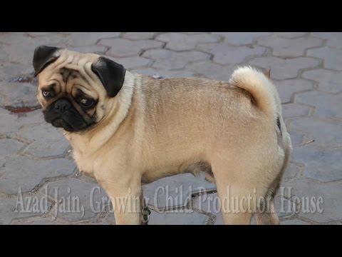 Xxx Mp4 Cute Dog Pug Licking Trespassers Foot Pug Puppy Pug Dog Kutta Pug Barking Vodafone Pug 3gp Sex