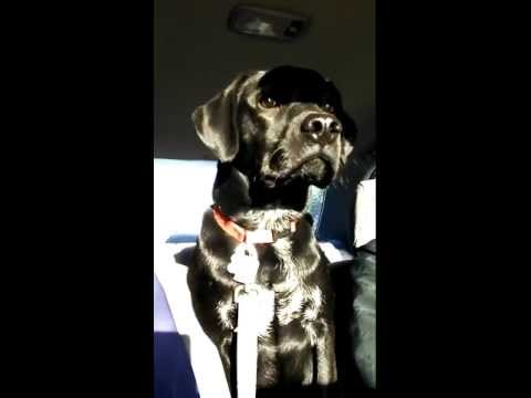 Darwin gets so nervous in the car he is shaking
