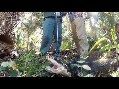Florida's Top Venomous snakes