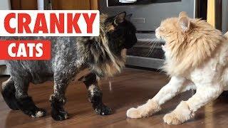 Cranky Cats Compilation