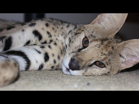 The Biggest Pet Cats in the World! Serval and Savannah