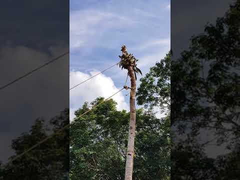 Intelligent coconut tree cutting...