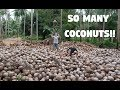 People Going Crazy In The Philippines... COCONUTS! (Lanao Del Norte, Mindanao)