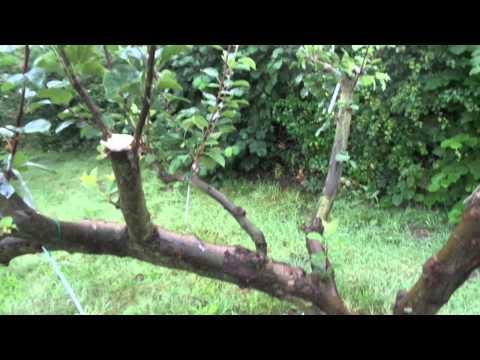 apple tree grafting update August 2015