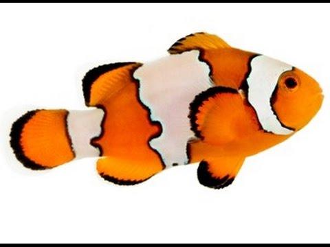 picasso clown fish - new fish!
