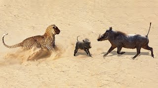 Amazing Baby Warthog Escaped From Leopard Hunting & Returned With Mother | Leopard Hunting Fail