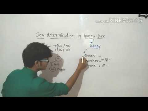 Xxx Mp4 Sex Determination In Honey Bee Haplodiploid Mechanism 3gp Sex