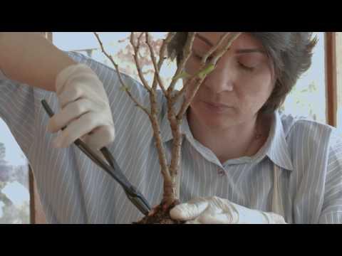 How to make bonsai tree Fuji Cherry or  Prunus incisa Kojo-no-mai Bonsai Trees From Nursery Stock