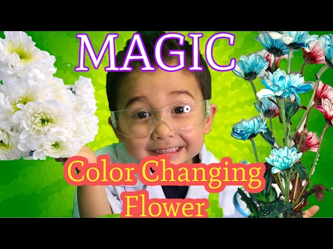 🌺Colored flowers   Color changing flower experiment   Science experiments for kids  