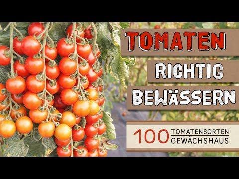 Tomaten richtig bewässern - 100 Tomatensorten Gewächshaus
