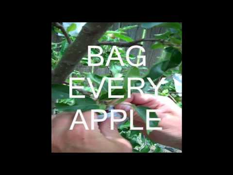 Keeping Worms Out of Backyard Apples Using Paper Bags