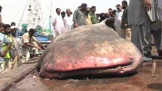 Dunya News-Karachi fishermen catch 3500 KG, 18-feet shark