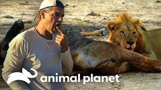 Download Frank prueba carne de una presa de un león | Wild Frank en África | Animal Planet Video