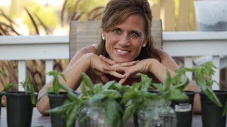 How To Propagate Basil Endless Supply From One Plant