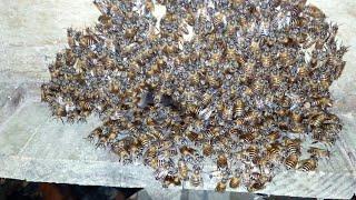 Honey bee inspection at night( রাতে মৌমাছির পরিচর্যা)