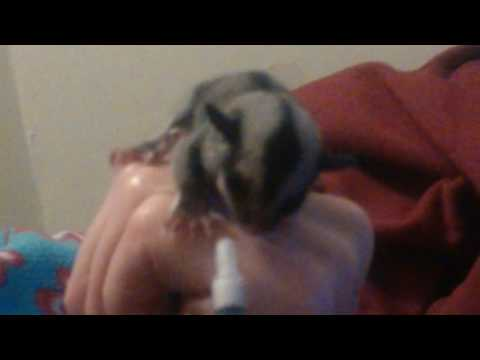 SAVING a baby Sugar Glider who lost her mom
