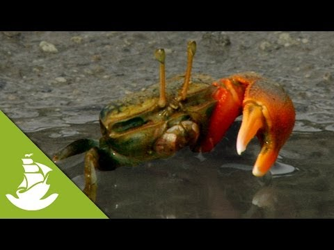 Fiddler Crabs: Only one big claw!