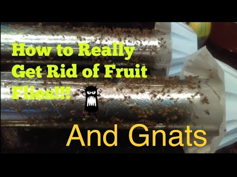 How to Really Get Rid of Fruit Flies Really!! (Infestation)