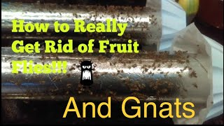 How To Really Get Rid Of Fruit Flies Really Infestation
