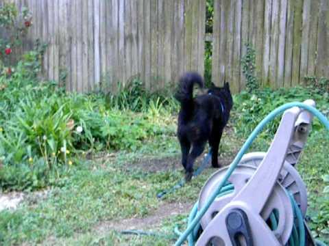 Ollie reacts to dog barking across street.AVI
