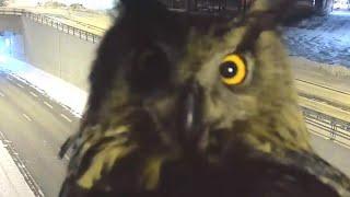 Owl Videobombs Traffic Security Camera