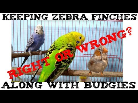 Keeping Zebra Finches Along With Budgies- Right or Wrong? | Can Zebra Finches Live With Budgies ? |