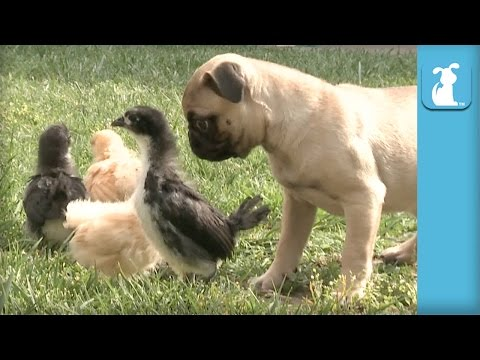 Pug Puppy Meets Easter Chicks For First Time - Puppy Love