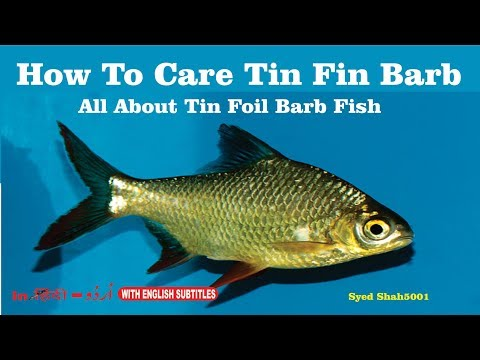 Tinfoil Barbs: Amazing Fish how to care Tinfoil Barb (Barbus schwanefeldi)care and guide