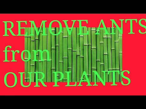 How NOT to KILL but to Get rid of ANTS from our PLANTS