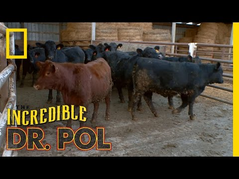 Bloated Bovine Emergency | The Incredible Dr. Pol
