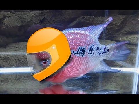 6 Reasons Why I Like Flowerhorn Fish