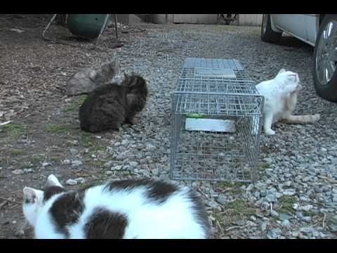 Trapping Feral Housecats...