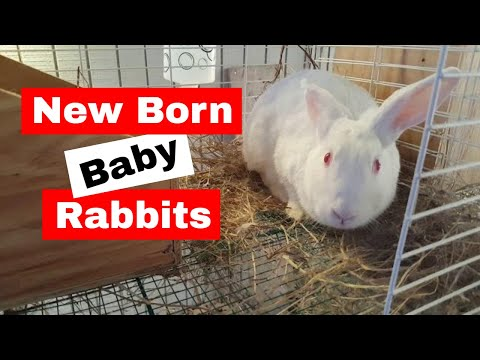 New born baby rabbits: Marshmallow 2nd litter