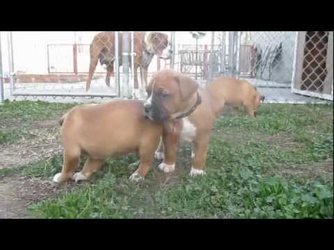 French Boxer Puppies @  4 1/2 weeks
